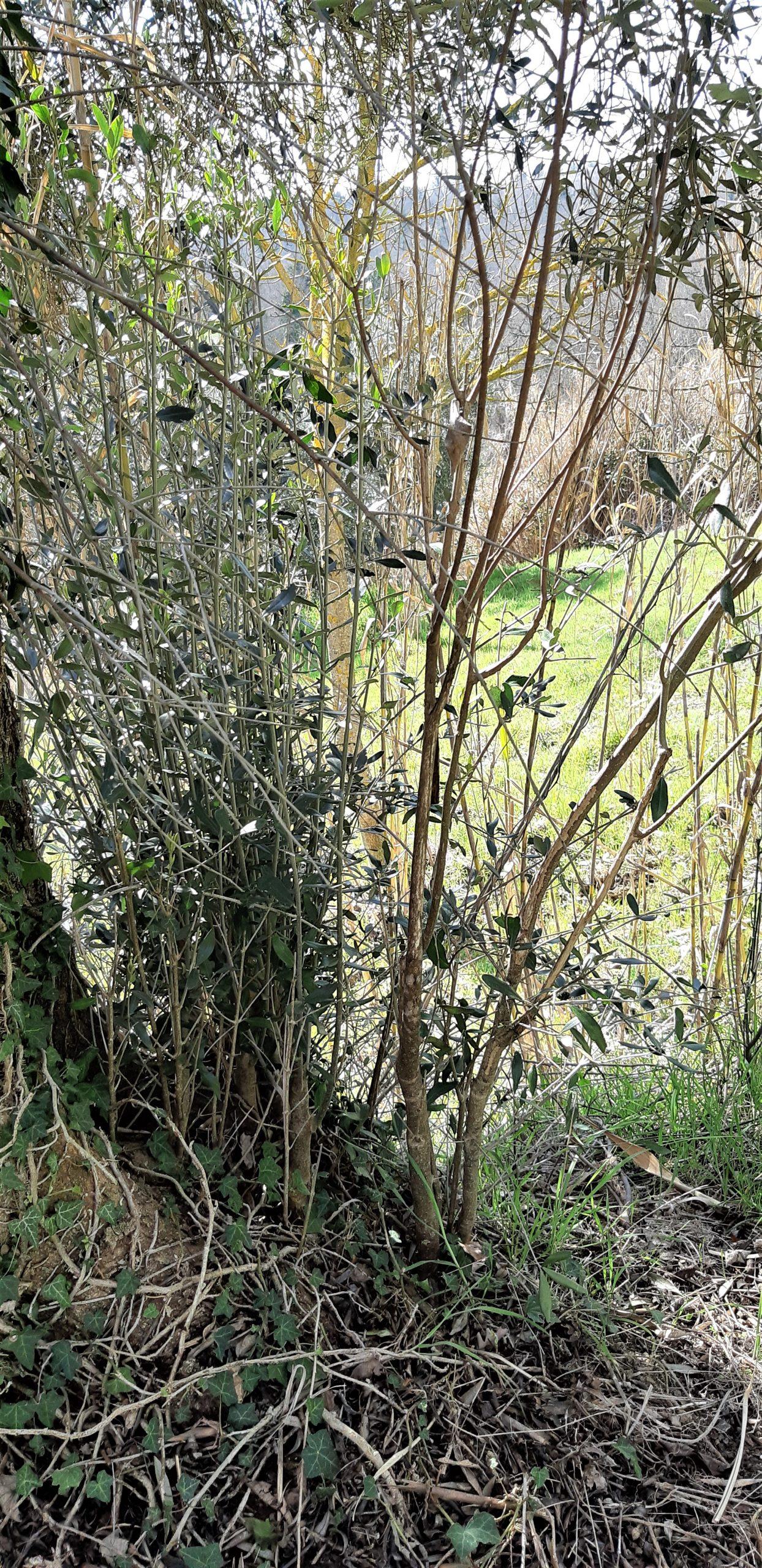 polloni alla base di un olivo centenario