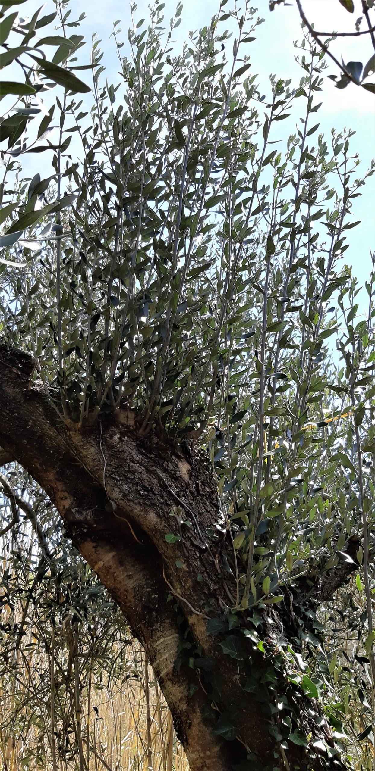 succhioni sul tronco principale di un olivo centenario